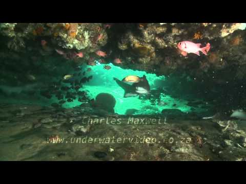 Ragged Tooth Sharks Filmed by Charles Maxwell