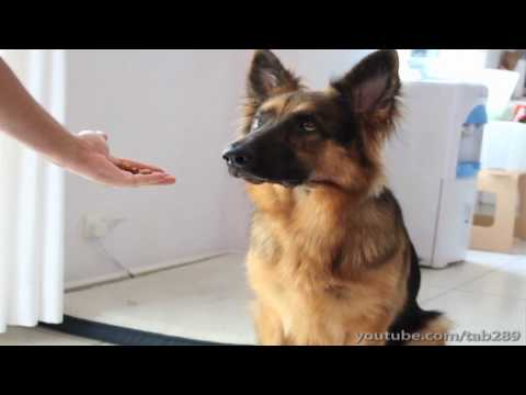 how-to-teach-your-dog-to-balance-a-treat-on-their-nose!