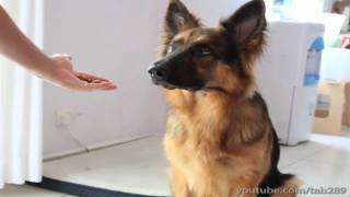 How To Teach Your Dog to Balance a Treat On Their Nose!