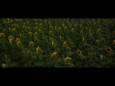 All dancing , all smiling , sunflowers festival 2018