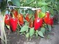 Пикировка болгарского перца в домашних условиях /// A pick peppers in the home /// 28.03.2016.