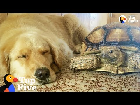 download Dog and Turtle are Best Friends + Other Animal Best Friends | The Dodo Top 5