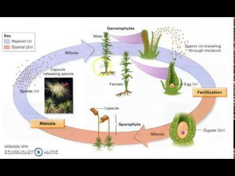 Bryophyte Lifecycle Youtube