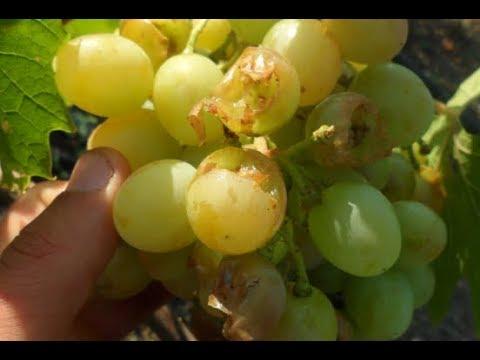 Как защитить виноград от птицы?