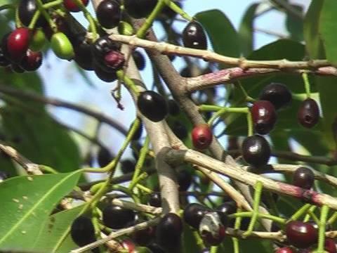 Syzygium tree near Rajasthan