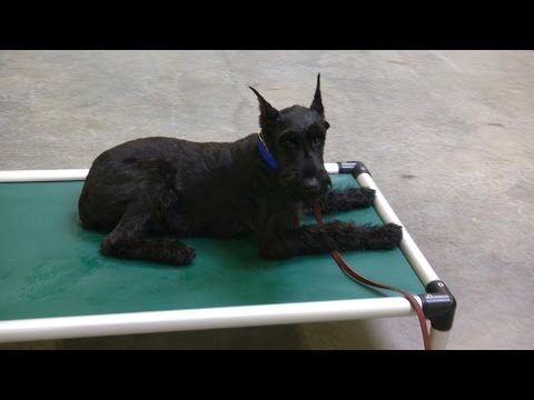 """Giant Schnauzer Puppy """"Yale"""" 5 Mo's Obedience Trained Dog For Sale"""