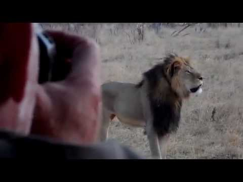 Cecil - Africa's Biggest Lion - www.CecilTheLion.org