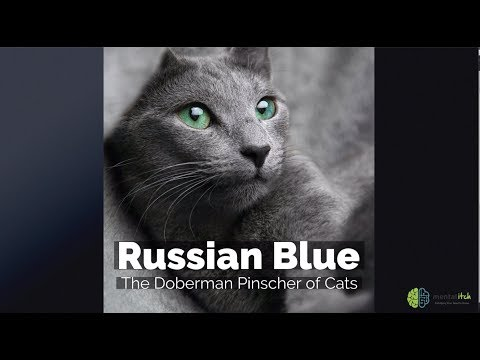 Russian Blue – The Doberman Pinscher of Cats