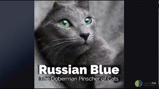 Russian Blue – The Doberman Pinscher of Cats