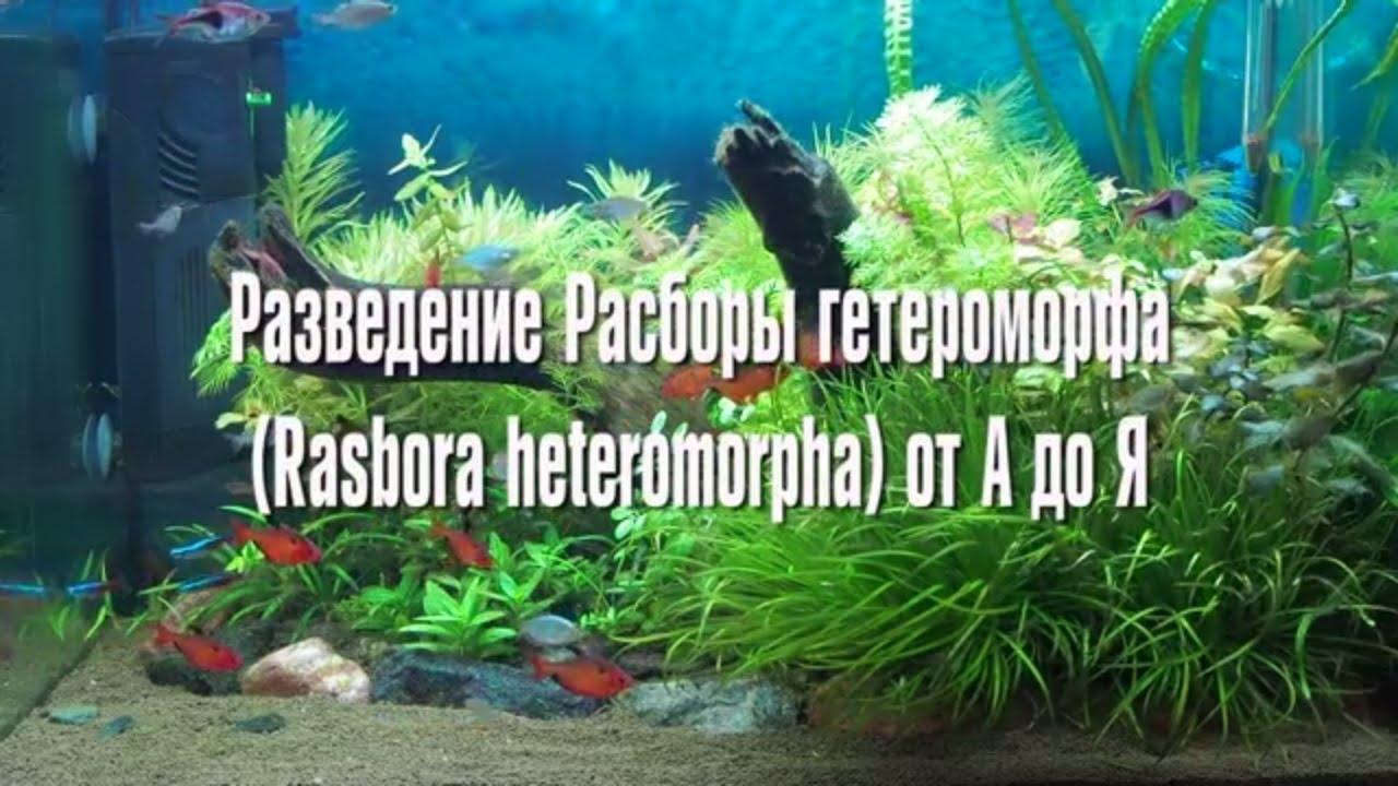 Расбора гетероморфа нерест разведение