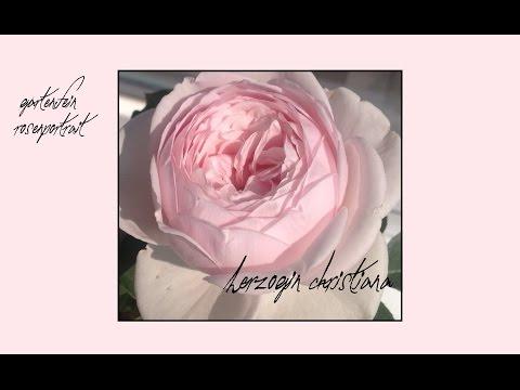 Rose Herzogin Christiana | Kordes |gartenfein [HD]