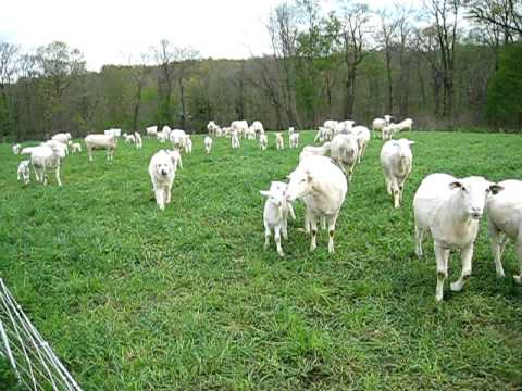 Happy Sheep (Lambshire Polypays)