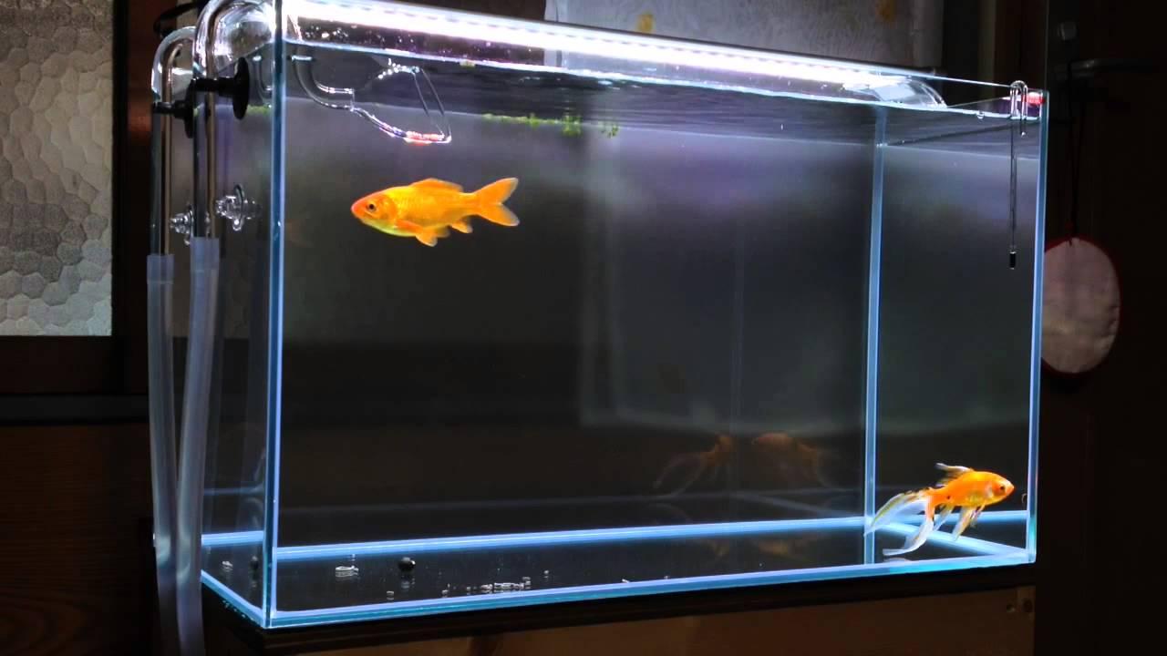 立ち 金魚 上げ 水槽