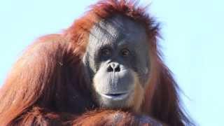 The Sumatran Orangutan - Elle Smith