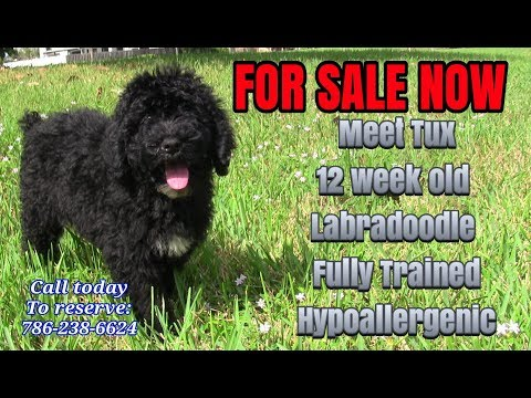 Trained Labradoodle Puppy For Sale