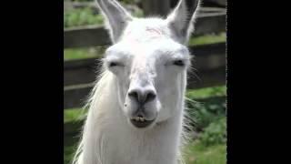 Llama Song {Clean Verison}