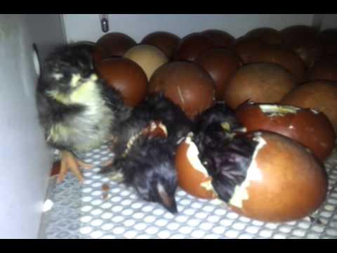 poule marans poussin