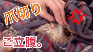 【大きなフクロウの爪きり】爪切りでトルちゃんご立腹、、? thumbnail