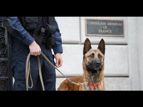 """""""Liberté"""", le chien policier offert au RAID à New York"""