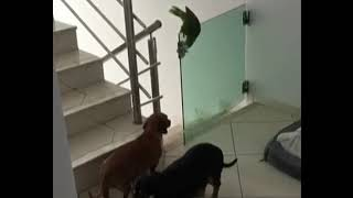 The Great Escape , Dog Pet Parrot Italian Greyhound Like & Subscrib...