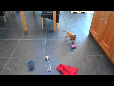 Yazash Staffordshire Bull Terrier Male pups 7 weeks old