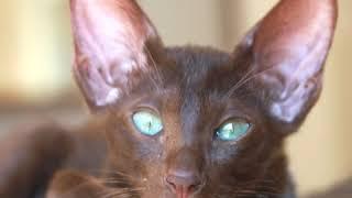 Oriental Cat  Cat Breed  Pet Friend