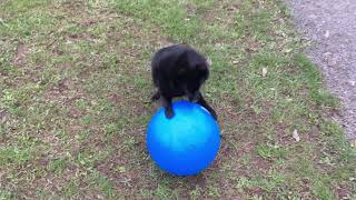 Schipperke dog plays with giant ball!