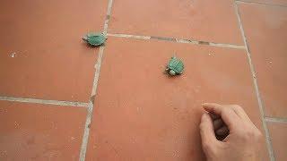 PHD | Rùa Anh Và Rùa Em Chạy Thi | Turtle Running Contest