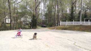 "10mo English Mastiff ""luna"" Distraction Proofing - Raleigh/durham Dog Training"