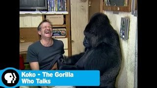 KOKO - THE GORILLA WHO TALKS | 60 Seconds | PBS