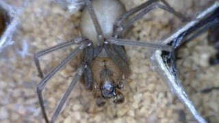 Brown Recluse Spider Information from Kansas State University