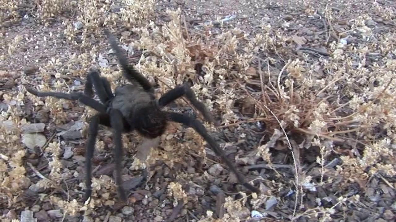 Tarantulas Desertusa