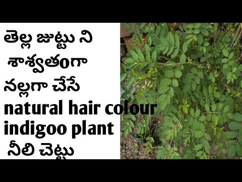 Indigo plant( neeli akku) for permanent hair colour for ...