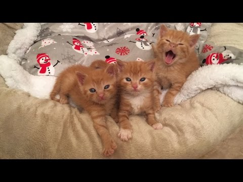 Good Morning Five Week Old Kittens! December Foster Kittens :)