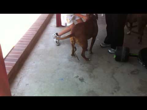 Crap stuck in dog's ass