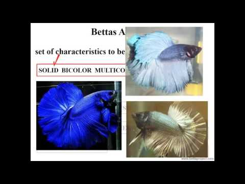 How to choose Betta matrices: a brief introduction on their phenotypes or visual characteristics
