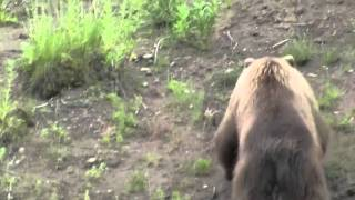 Bald Eagle vs Grizzly