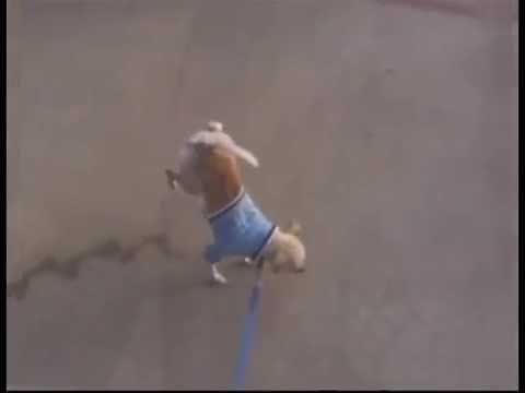 perro chiwawa caminando y miando
