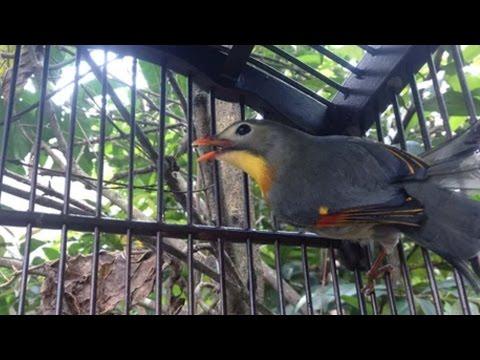 Suara Kicau Burung Robin Gacor Ok Tarik Lagi Joozz