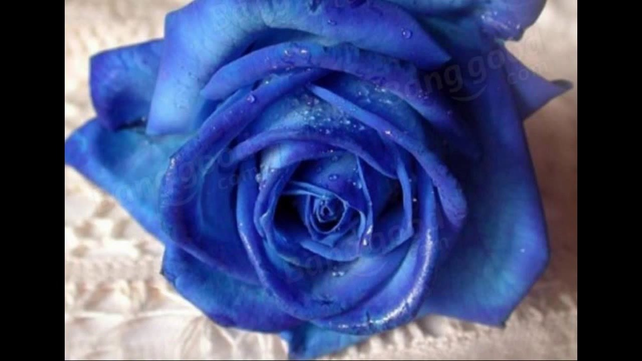 growing blue roses from seed youtube