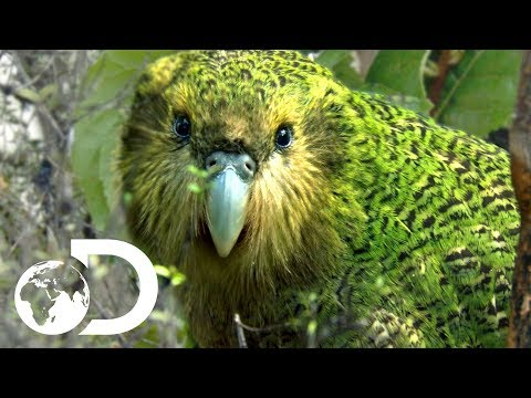 The Strangest Parrot in the World | Modern Dinosaurs