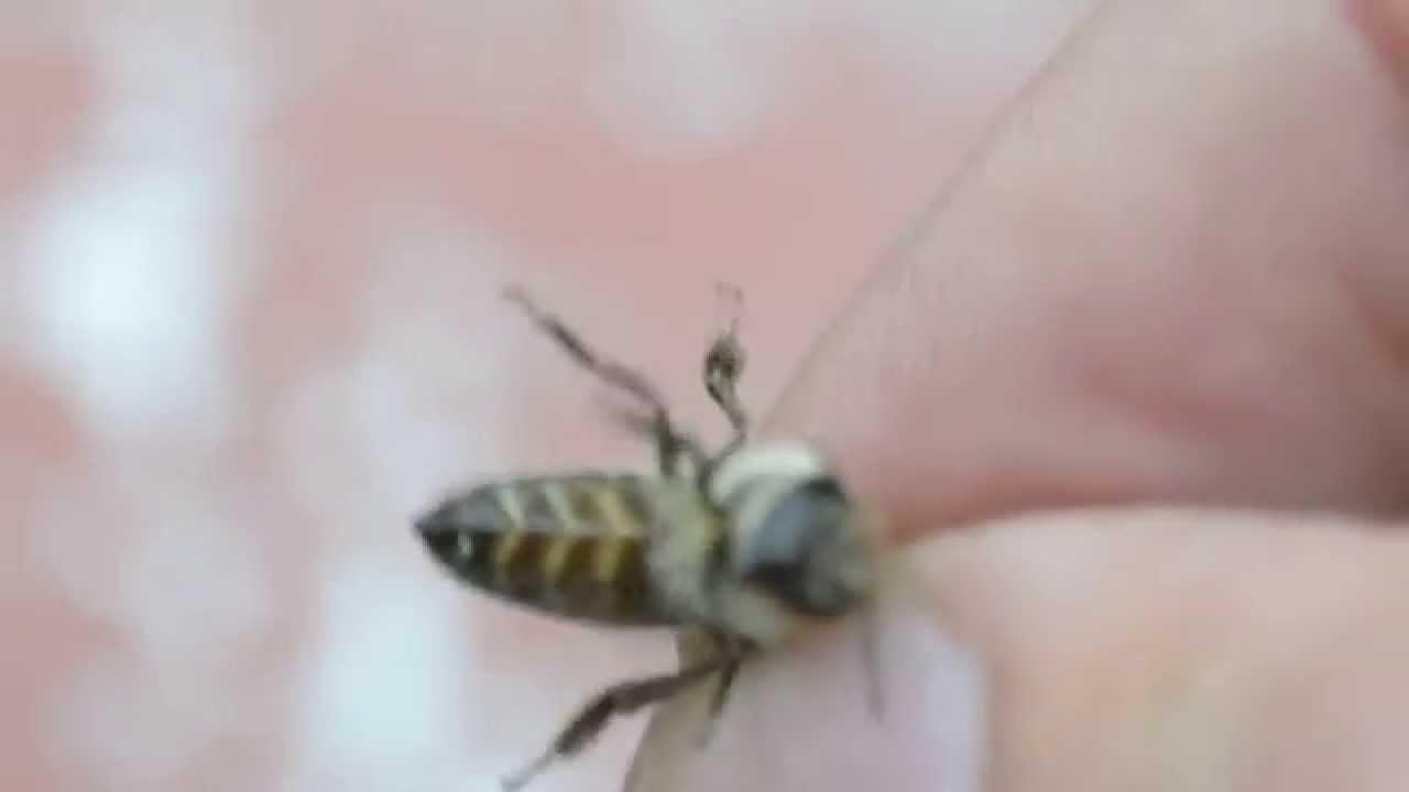 Сажание пчелы на половой член