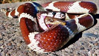 5 Serpientes Devoradas por sus Presas