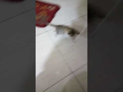 Cute kitten playing with string