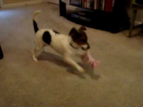 Jack Russel/Dachshund/Beagle mix puppy, Cassie. :O) - YouTube