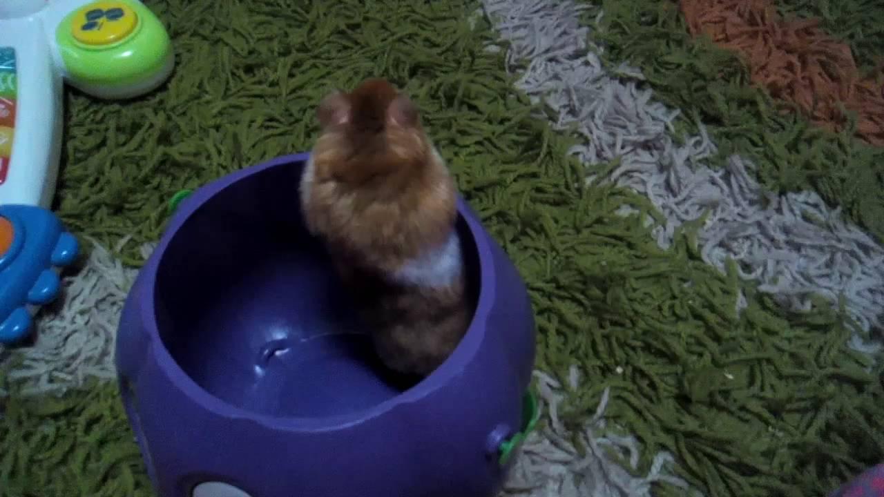 Hamster com por