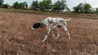 English pointer dog training & Tips | How to train a pointer dog | wildlife today | شکار کی ٹرینینگ