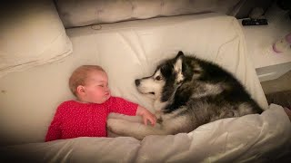 Giant Dogs Refuse To Leave Baby's Bed While She Sleeps! (CUTEST VIDEO EVER!!)