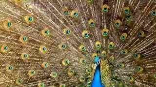Peacock facts: 10 facts about Peacocks