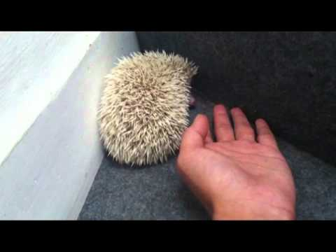 my hedgehog climbing.mp4